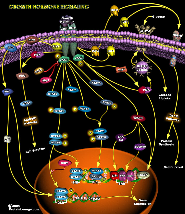 Growth Hormone Signaling